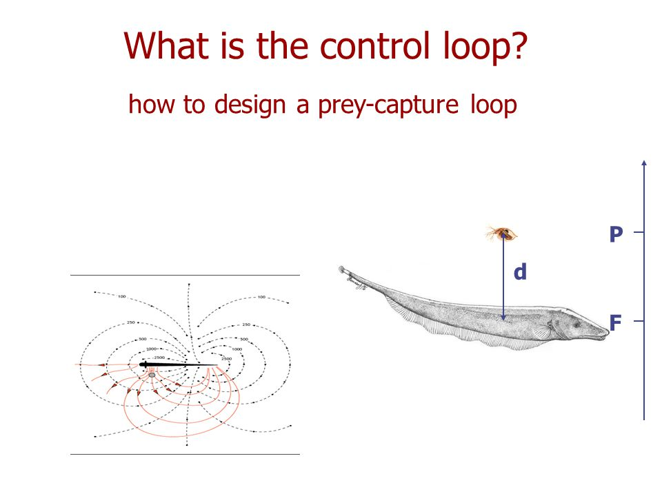 What is the control loop how to design a prey-capture loop d F P d F P