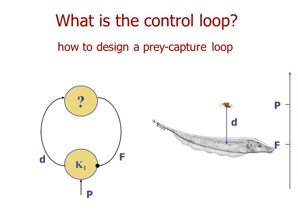 What is the control loop how to design a prey-capture loop d F P K1K1 d F P