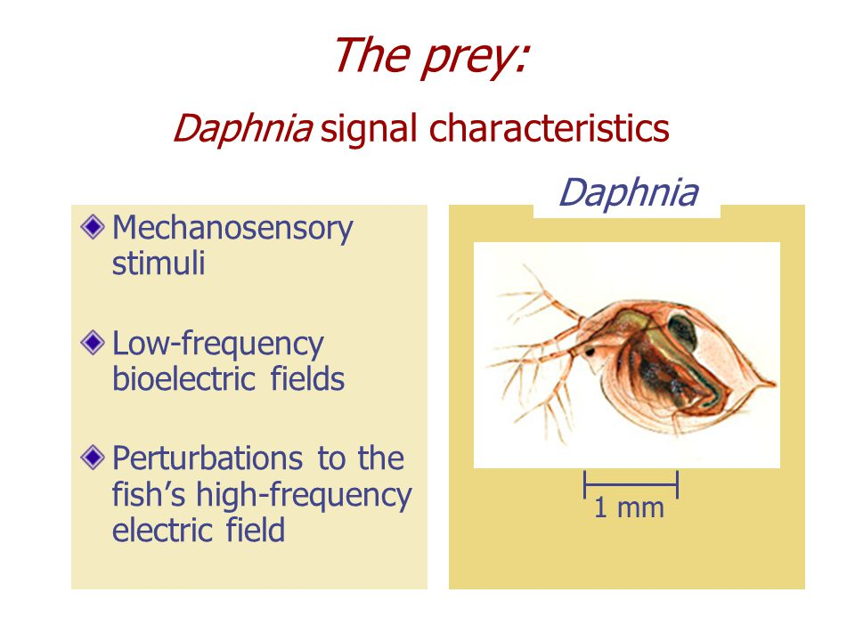 Daphnia signal characteristics Mechanosensory stimuli Low-frequency bioelectric fields Perturbations to the fish's high-frequency electric field Daphnia 1 mm The prey: