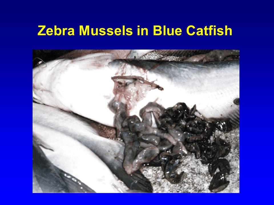 Zebra Mussels in Blue Catfish
