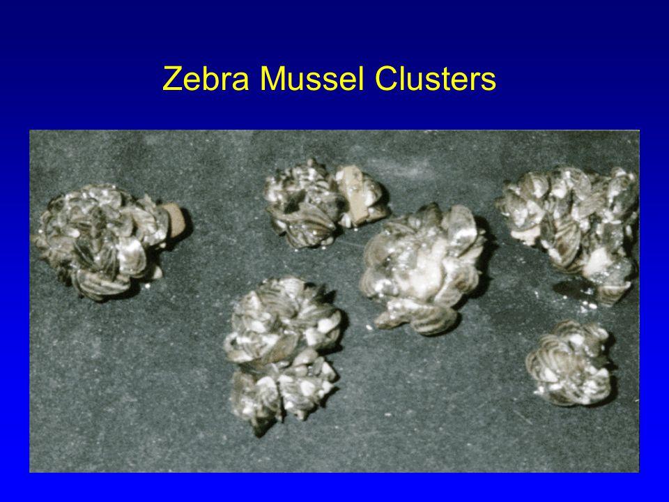 Zebra Mussel Clusters