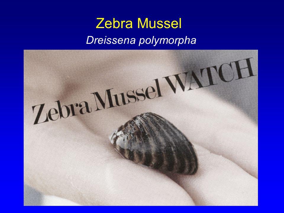 Zebra Mussel Dreissena polymorpha
