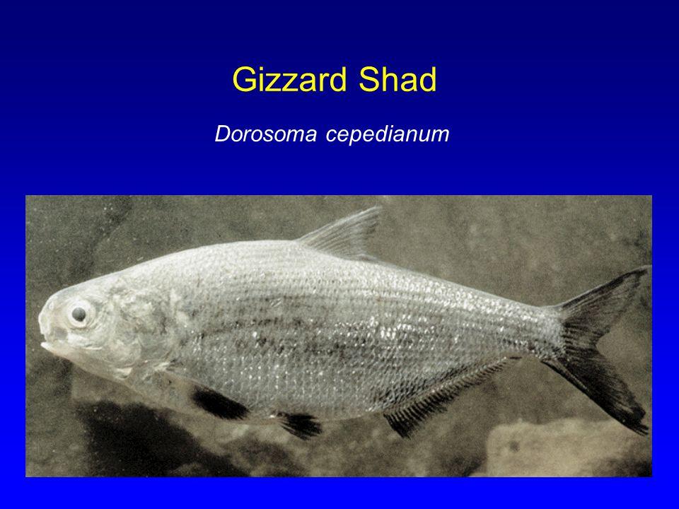 Gizzard Shad Dorosoma cepedianum