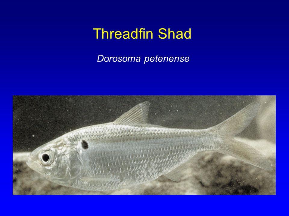 Threadfin Shad Dorosoma petenense