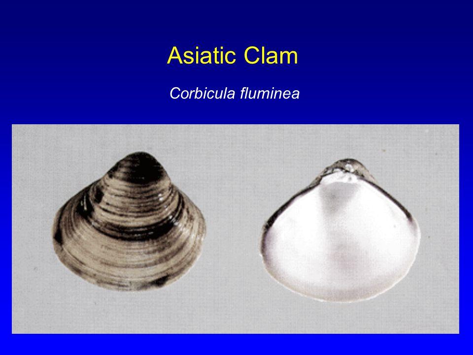 Asiatic Clam Corbicula fluminea
