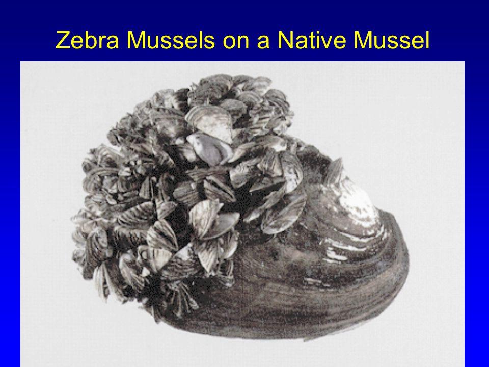 Zebra Mussels on a Native Mussel