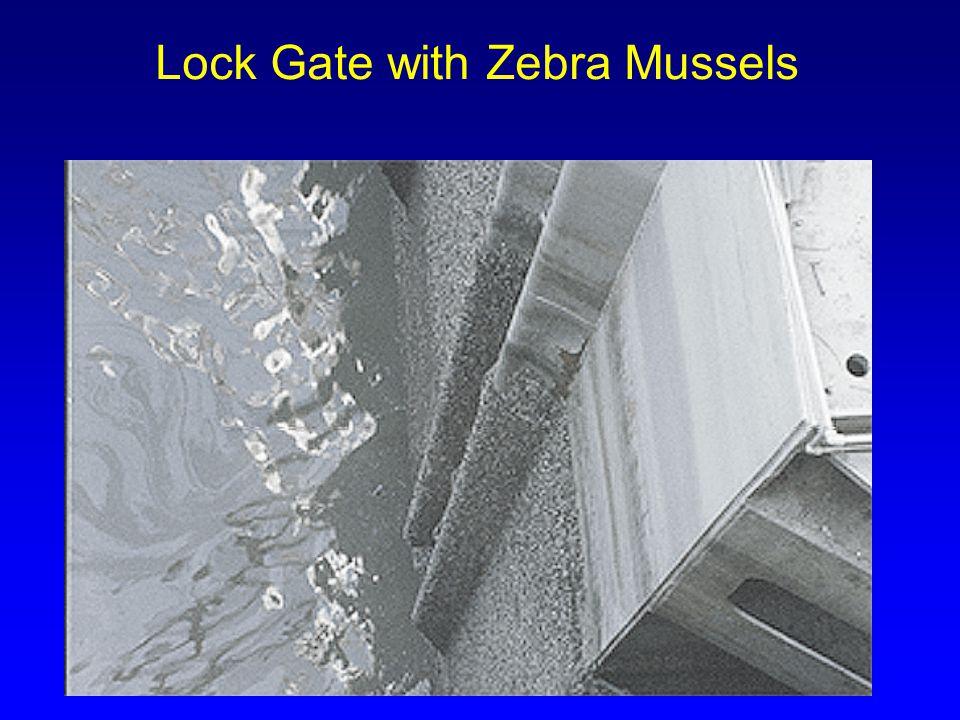 Lock Gate with Zebra Mussels