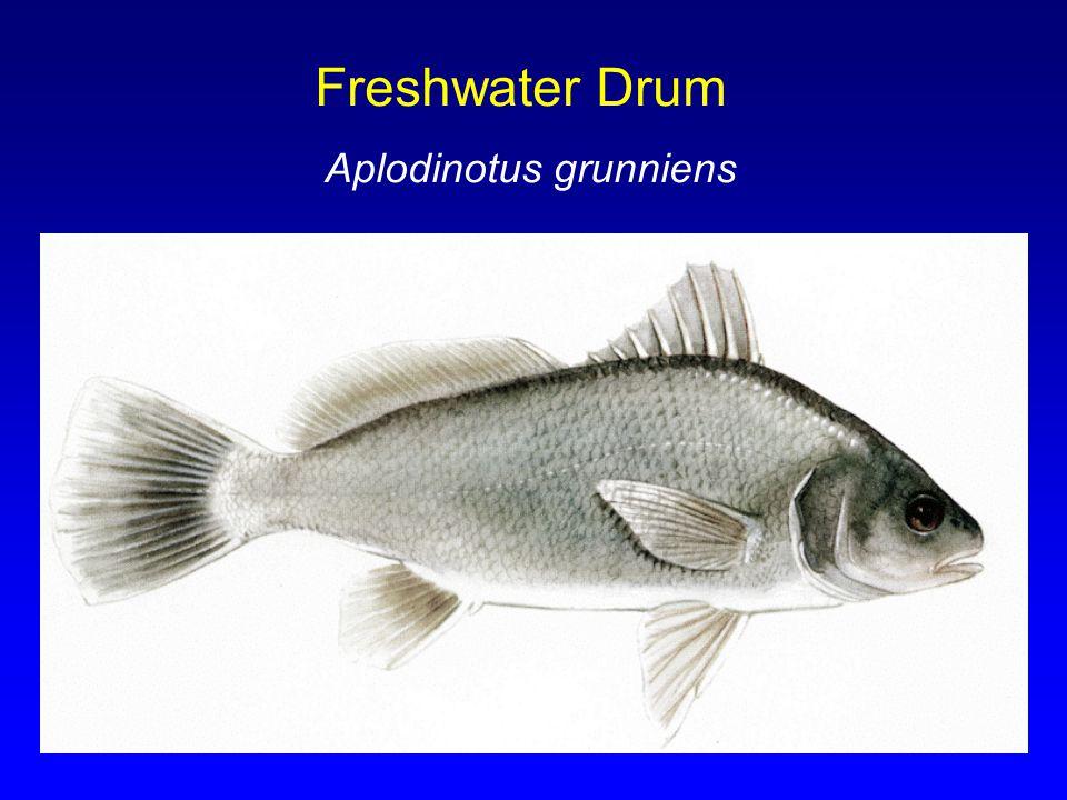 Freshwater Drum Aplodinotus grunniens