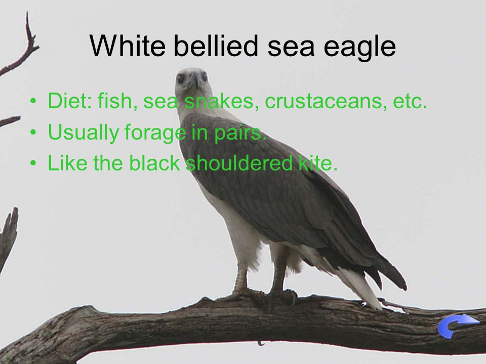 White bellied sea eagle Diet: fish, sea snakes, crustaceans, etc.