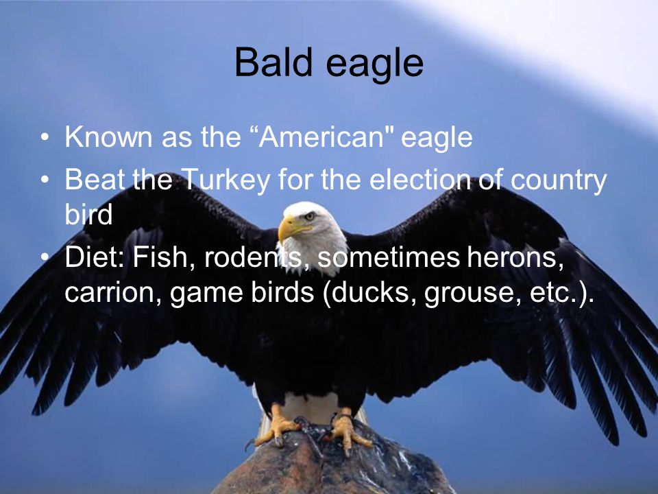 Bald eagle Known as the American eagle Beat the Turkey for the election of country bird Diet: Fish, rodents, sometimes herons, carrion, game birds (ducks, grouse, etc.).