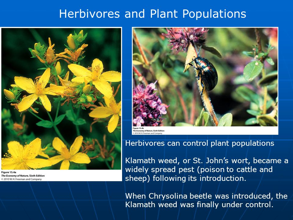 Herbivores and Plant Populations Herbivores can control plant populations Klamath weed, or St. John's wort, became a widely spread pest (poison to cat