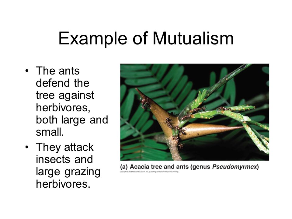Example of Mutualism The ants defend the tree against herbivores, both large and small.