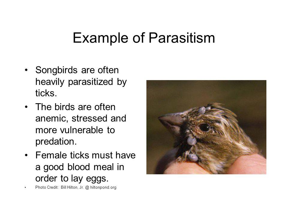 Example of Parasitism Songbirds are often heavily parasitized by ticks.