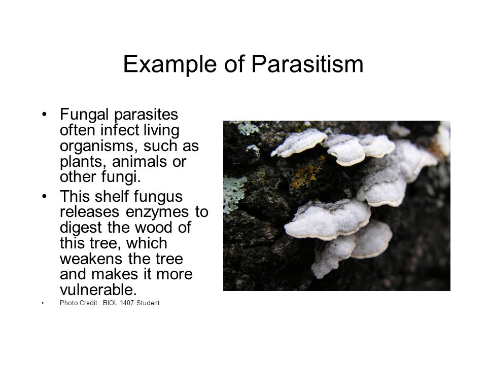 Example of Parasitism Fungal parasites often infect living organisms, such as plants, animals or other fungi.