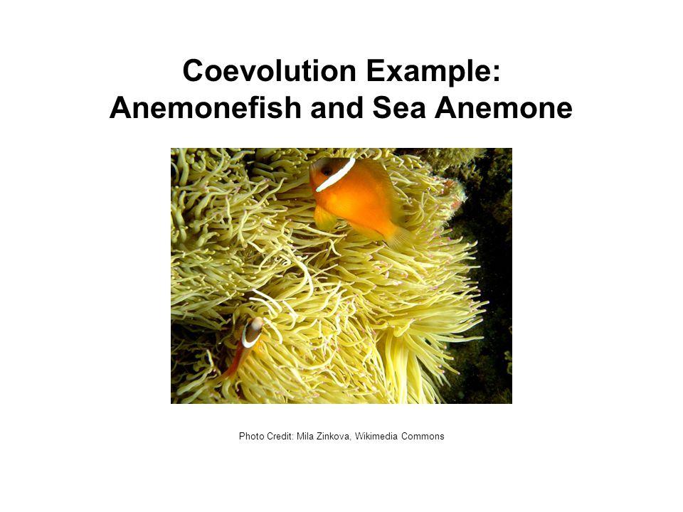 Coevolution Example: Anemonefish and Sea Anemone Photo Credit: Mila Zinkova, Wikimedia Commons