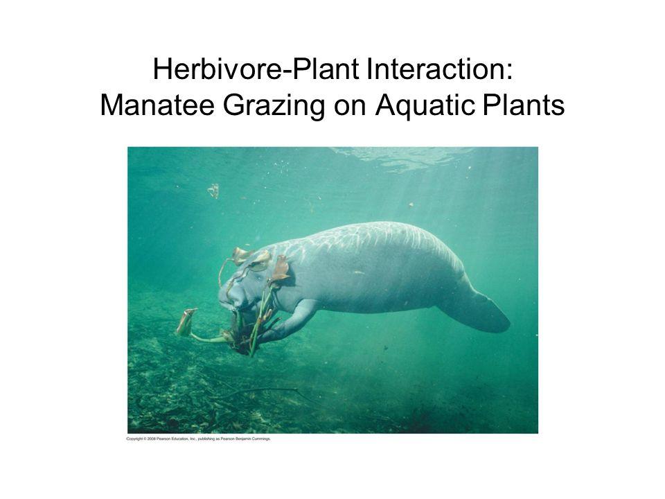 Herbivore-Plant Interaction: Manatee Grazing on Aquatic Plants