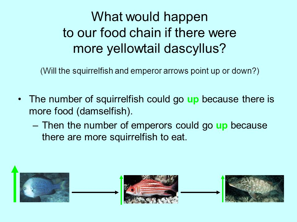 What would happen to our food chain if there were more yellowtail dascyllus.