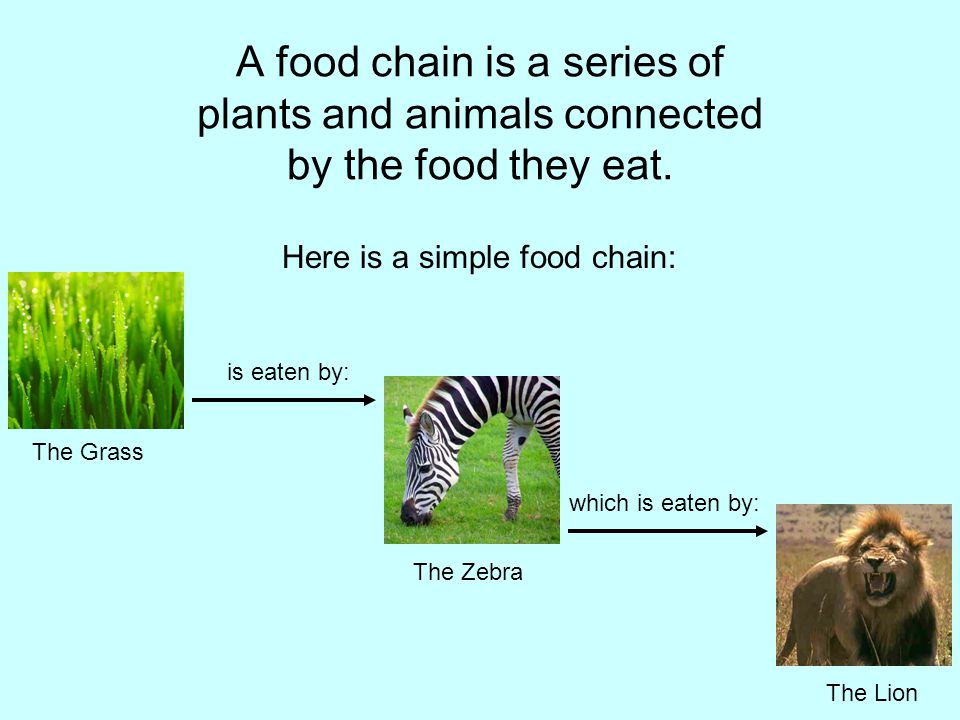 A food chain is a series of plants and animals connected by the food they eat.