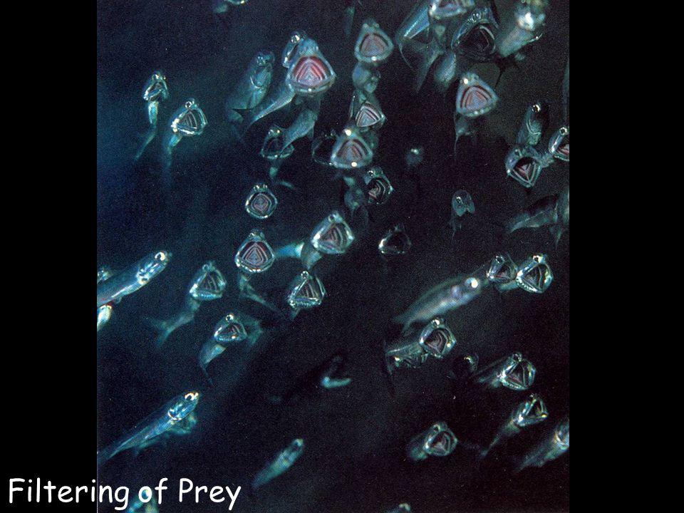 Filtering of Prey