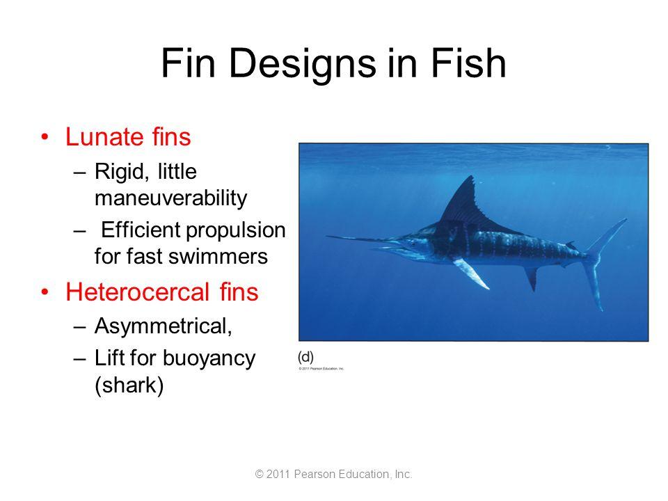 © 2011 Pearson Education, Inc. Fin Designs in Fish Lunate fins –Rigid, little maneuverability – Efficient propulsion for fast swimmers Heterocercal fi