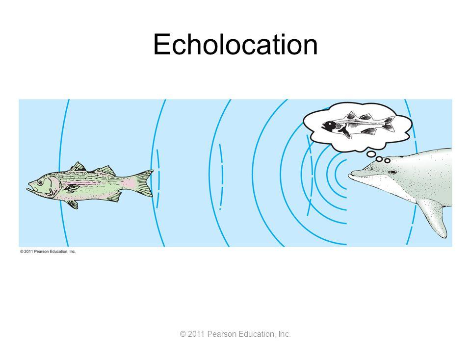 © 2011 Pearson Education, Inc. Echolocation