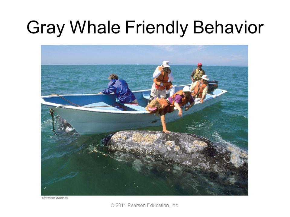 © 2011 Pearson Education, Inc. Gray Whale Friendly Behavior