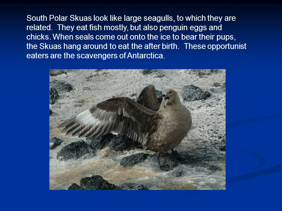 South Polar Skuas look like large seagulls, to which they are related.