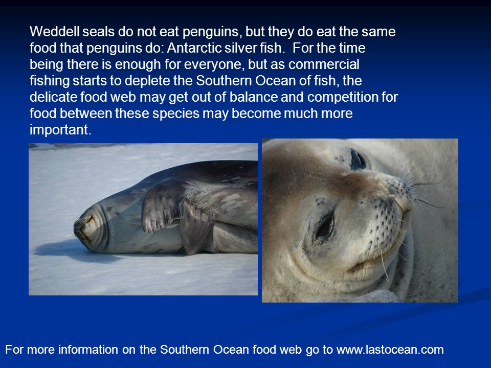 Weddell seals do not eat penguins, but they do eat the same food that penguins do: Antarctic silver fish.