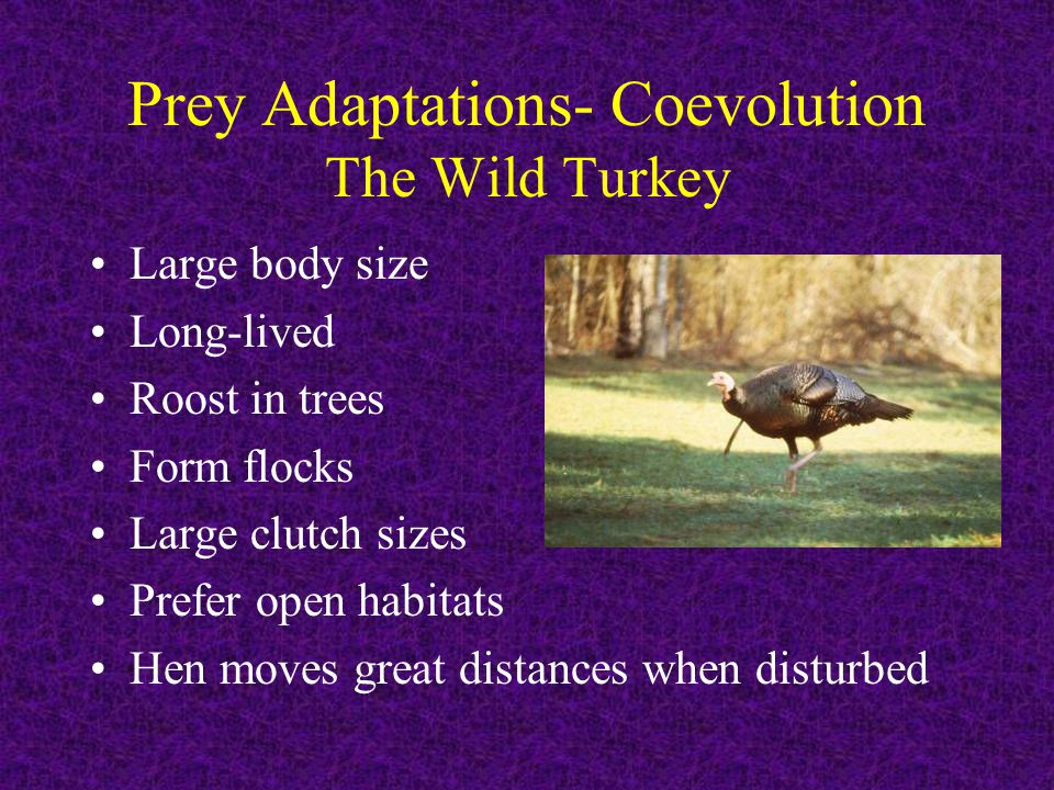 Prey Adaptations- Coevolution The Wild Turkey Large body size Long-lived Roost in trees Form flocks Large clutch sizes Prefer open habitats Hen moves great distances when disturbed