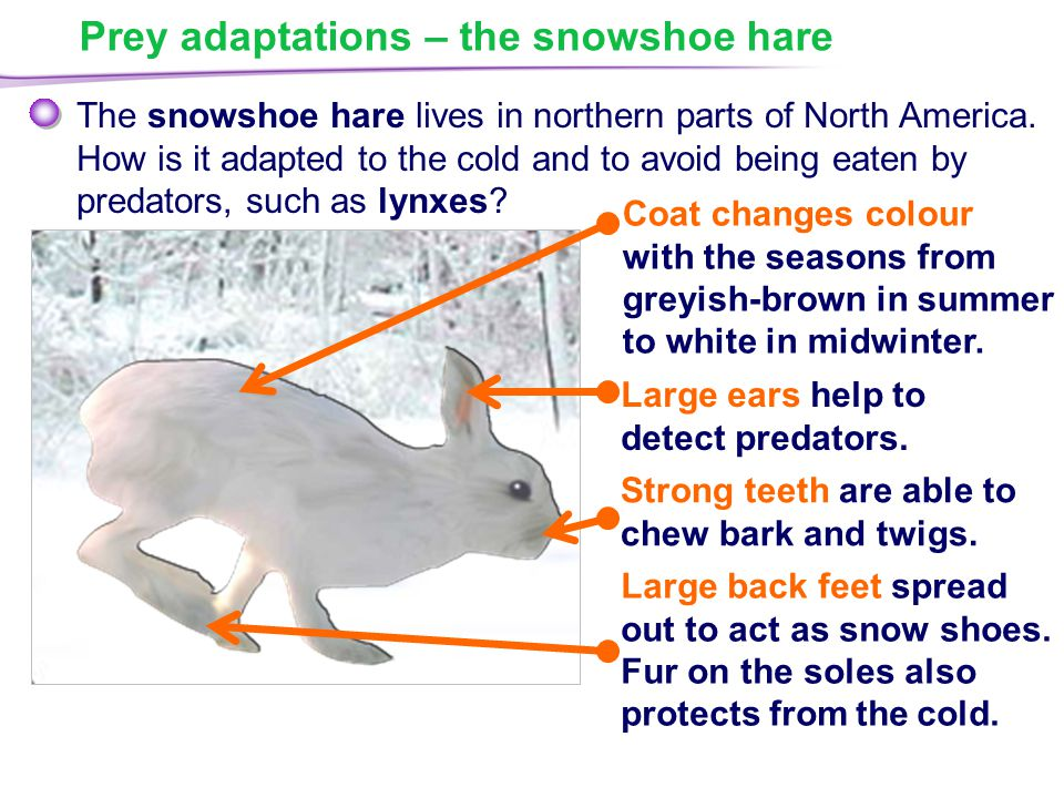 Prey adaptations – the snowshoe hare The snowshoe hare lives in northern parts of North America.