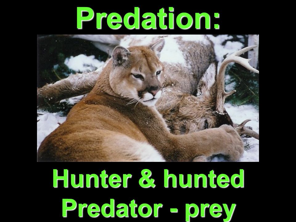 Predation: Hunter & hunted Predator - prey