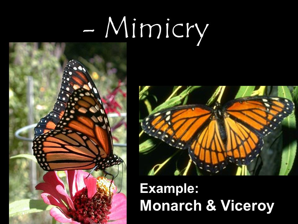 Example: Monarch & Viceroy - Mimicry
