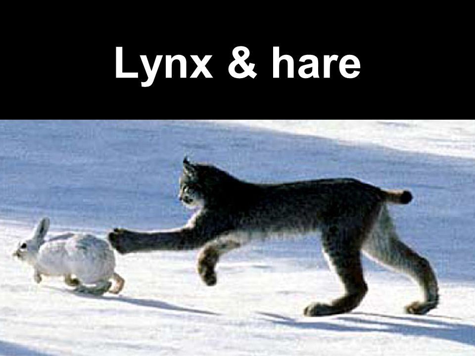 Lynx & hare