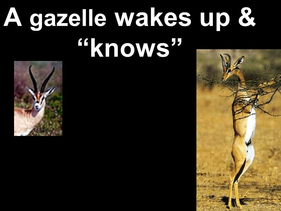 A gazelle wakes up & knows