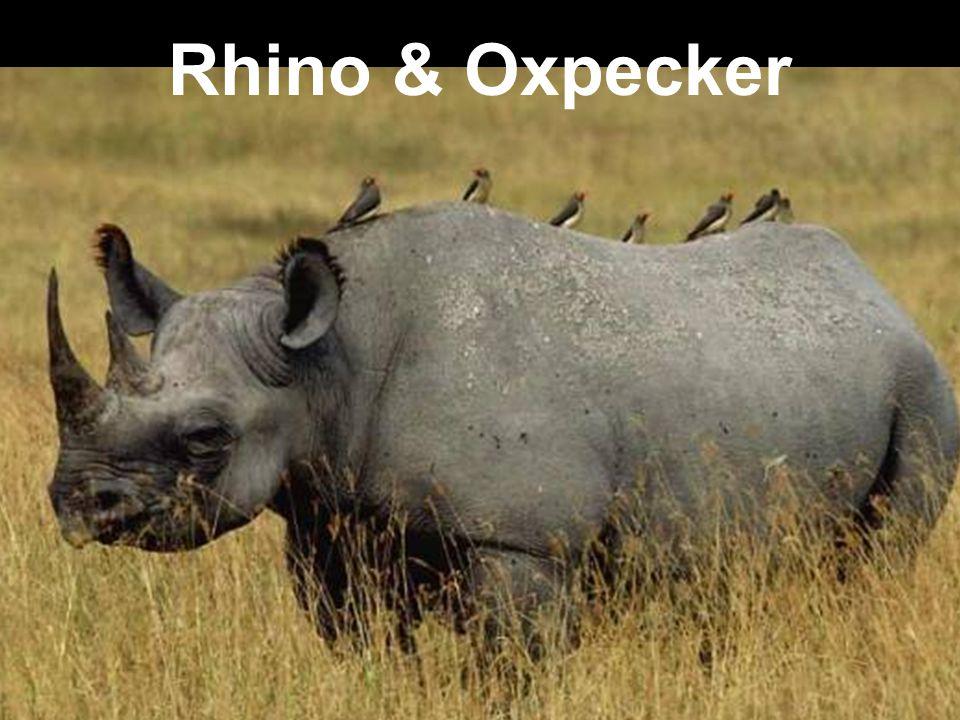 Rhino & Oxpecker