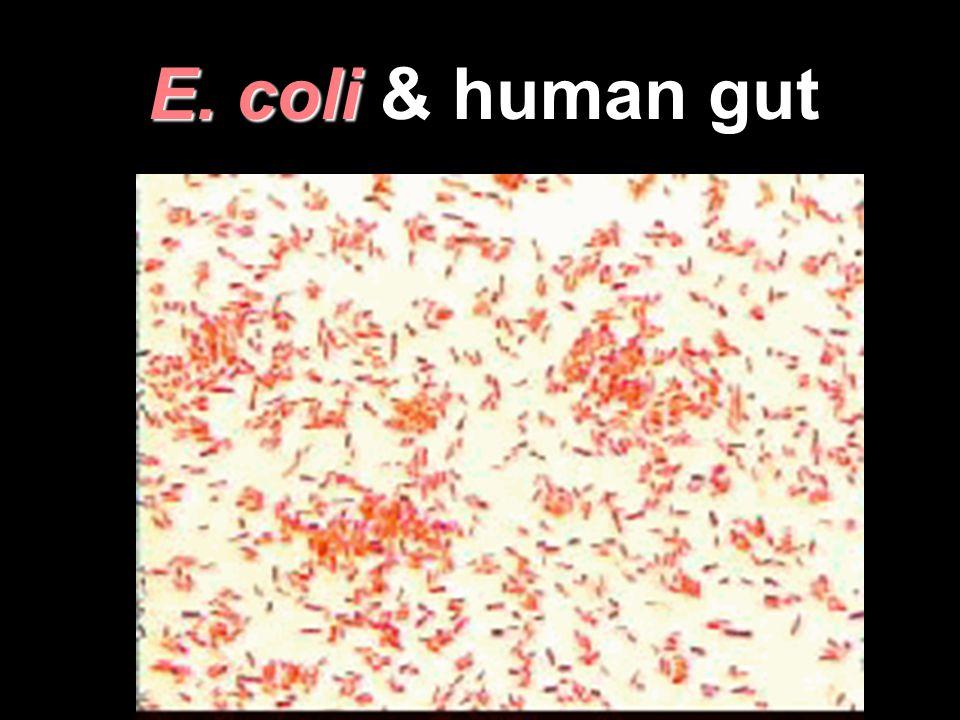 E. coli E. coli & human gut