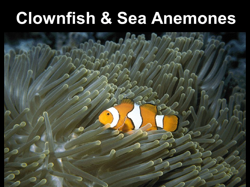 Clownfish & Sea Anemones
