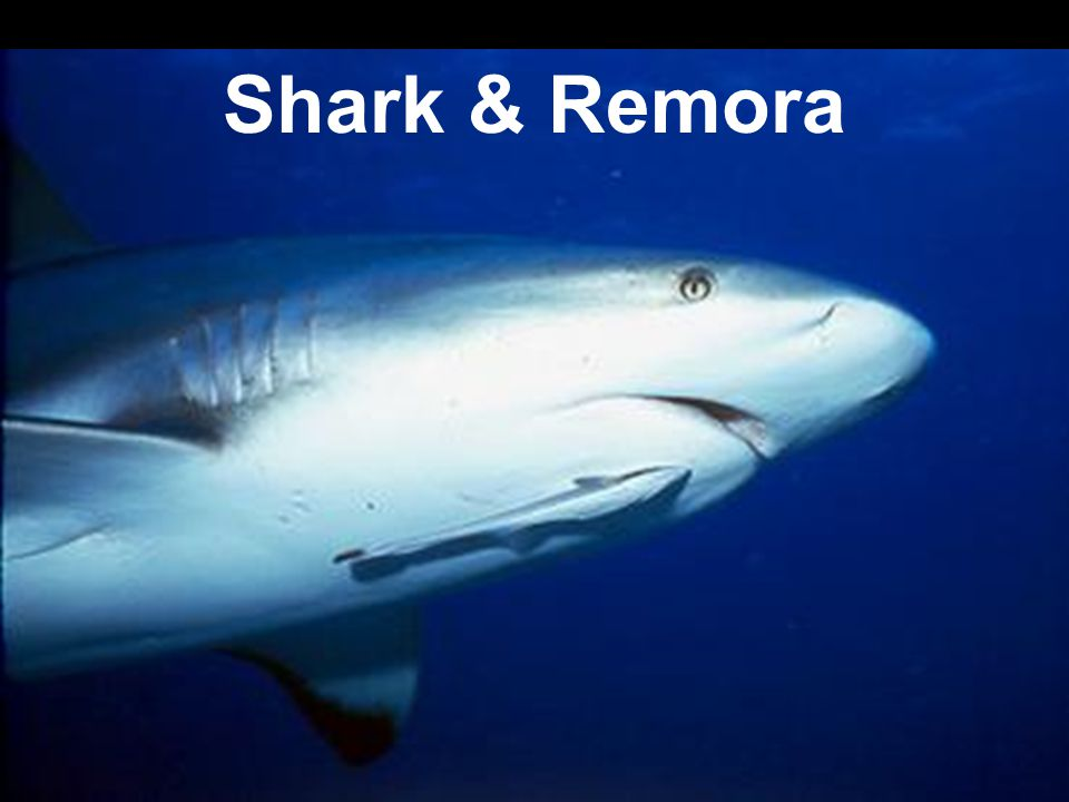 Shark & Remora