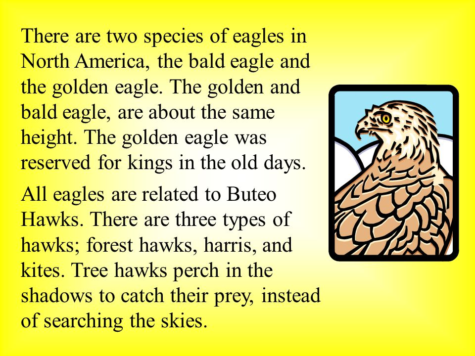 All eagles are related to Buteo Hawks.