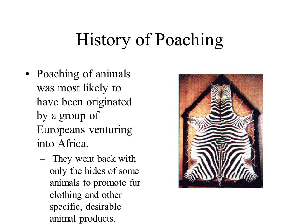 History of Poaching Poaching of animals was most likely to have been originated by a group of Europeans venturing into Africa. – They went back with o