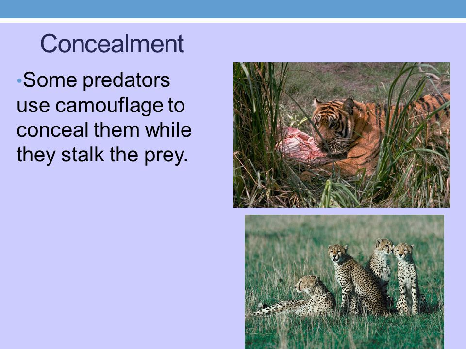 Concealment Some predators use camouflage to conceal them while they stalk the prey.
