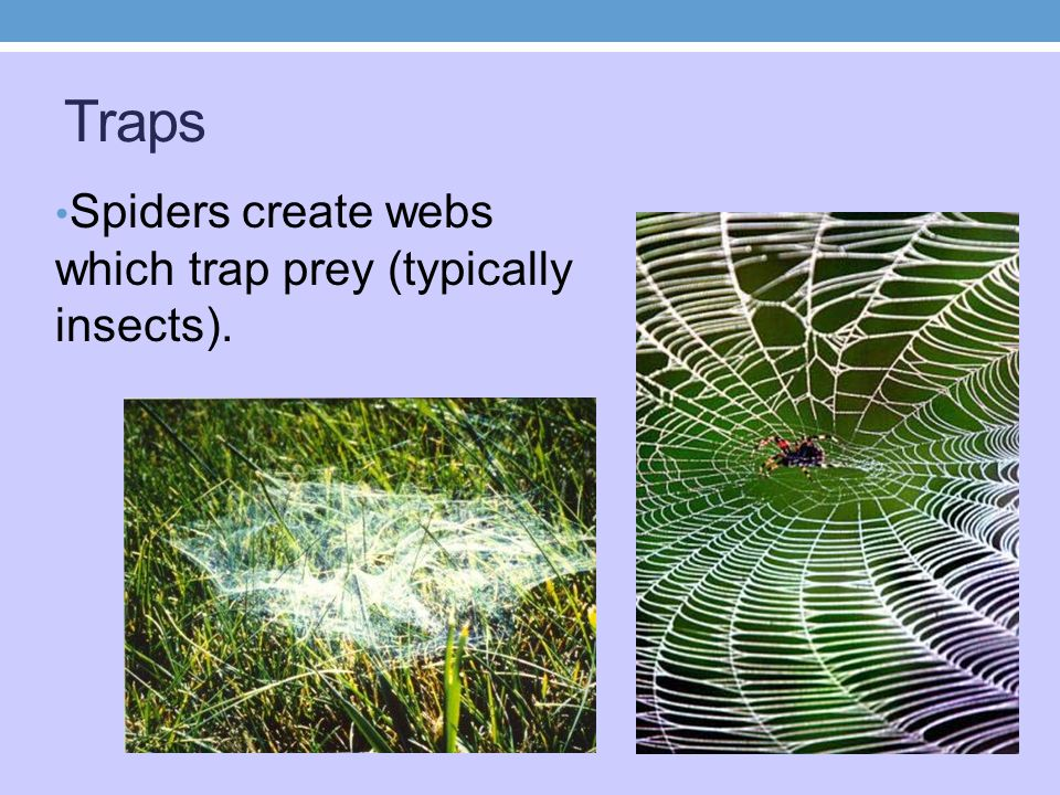 Traps Spiders create webs which trap prey (typically insects).