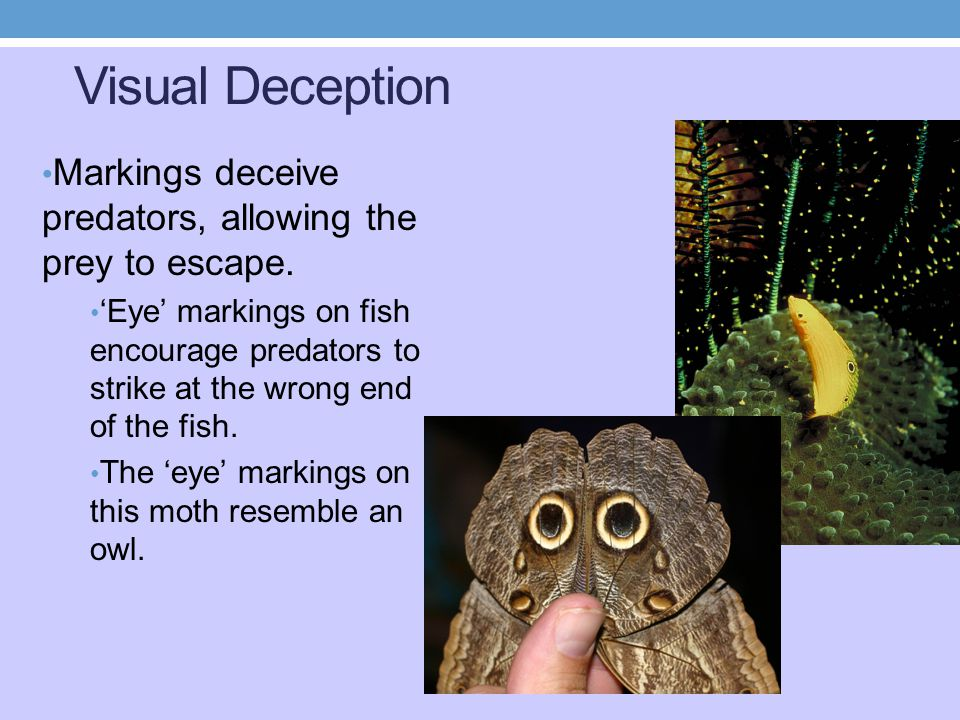 Visual Deception Markings deceive predators, allowing the prey to escape.