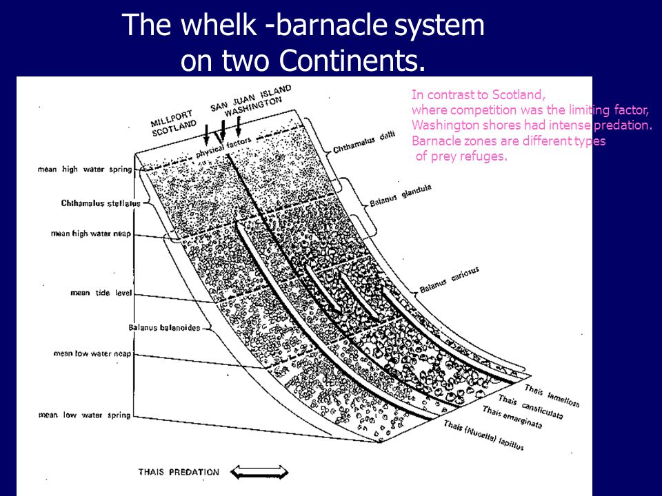 The whelk -barnacle system on two Continents.