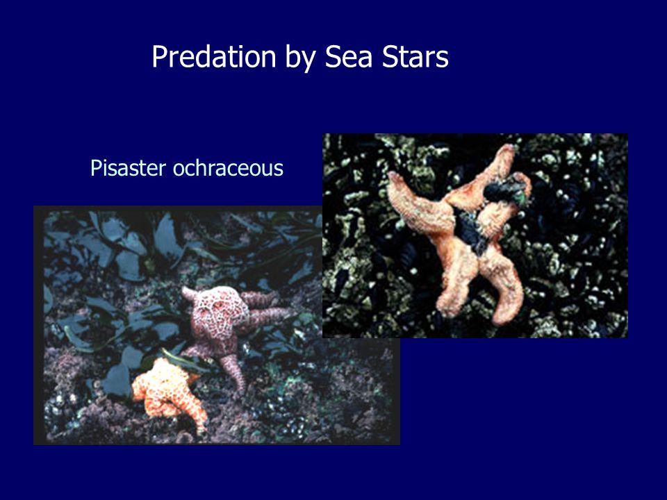 Predation by Sea Stars Pisaster ochraceous