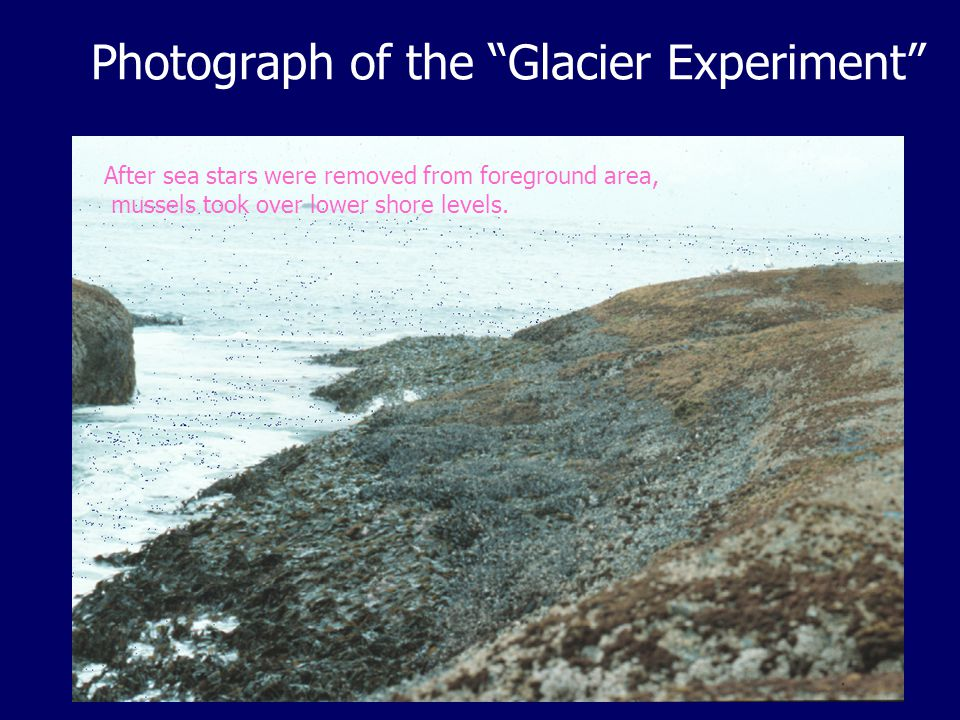 Photograph of the Glacier Experiment After sea stars were removed from foreground area, mussels took over lower shore levels.