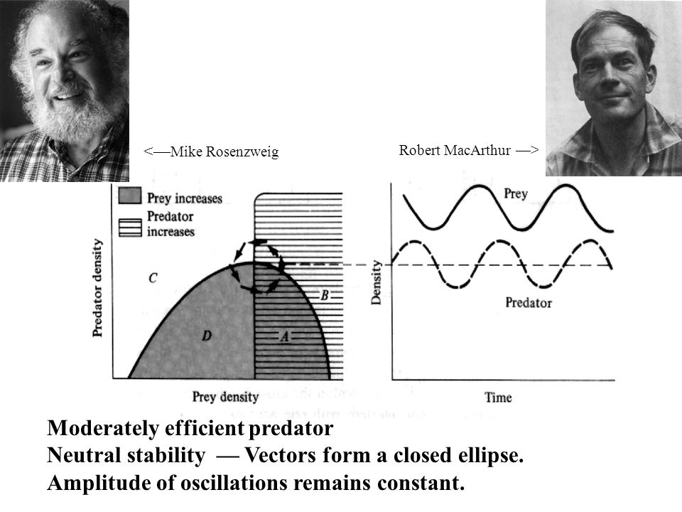 Moderately efficient predator Neutral stability — Vectors form a closed ellipse.