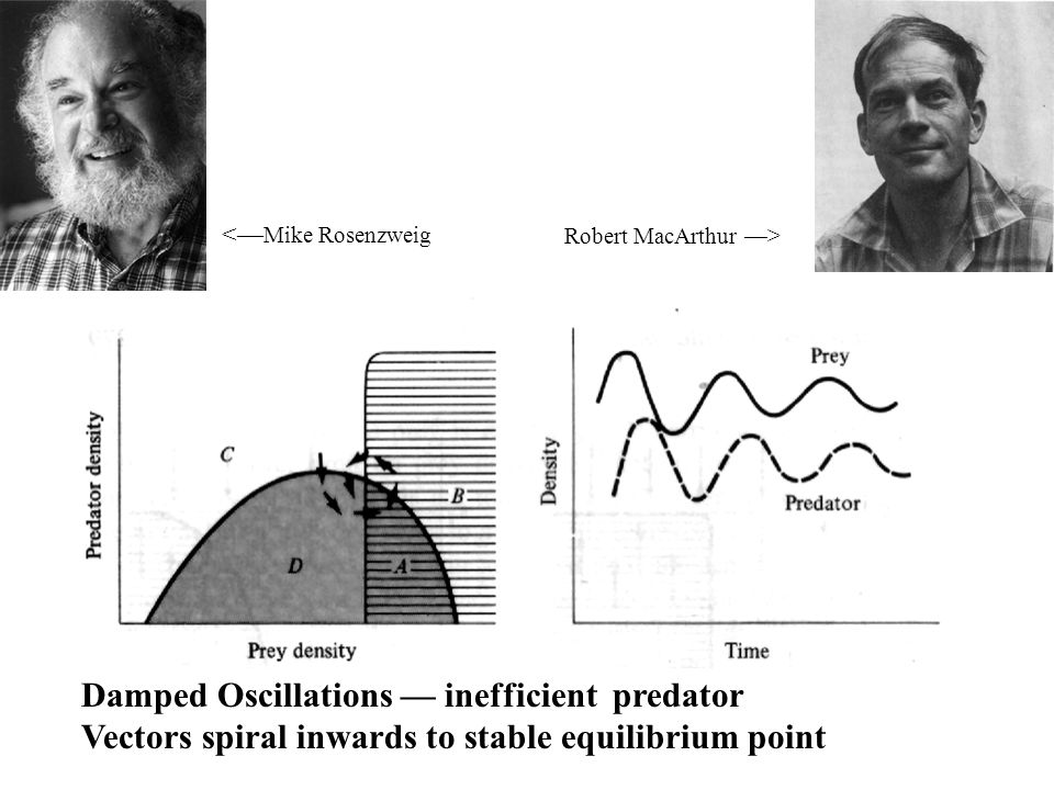 Damped Oscillations — inefficient predator Vectors spiral inwards to stable equilibrium point Robert MacArthur —> <— Mike Rosenzweig
