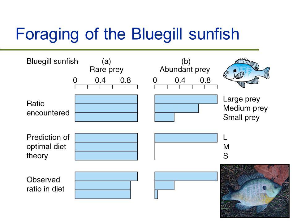 Foraging of the Bluegill sunfish