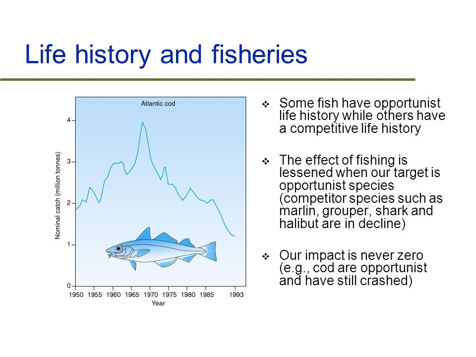 Life history and fisheries  Some fish have opportunist life history while others have a competitive life history  The effect of fishing is lessened when our target is opportunist species (competitor species such as marlin, grouper, shark and halibut are in decline)  Our impact is never zero (e.g., cod are opportunist and have still crashed)
